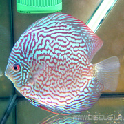 Discus Red Turquoise (Красно-бирюзовый)