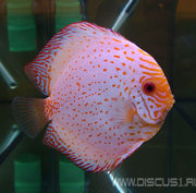 Discus White Butterfly (Белая бабочка)