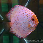 Discus White Butterfly (Дискус Белая бабочка)