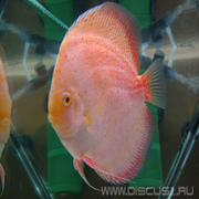 Discus White Leopard (Белый леопард)