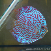 Discus Leopard (Дискус Леопард)