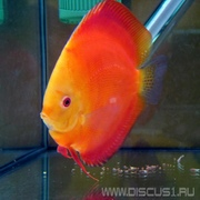 Discus Red Melon (Дискус Красная дыня)