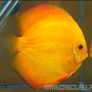 Discus Golden Sun (Дискус Золотое солцне)