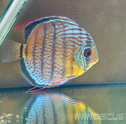 Discus Red Spotted Green (Дискус Красно-точечный зелёный)