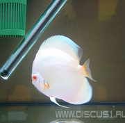 Discus Blue Diamond Albino (Дискус Голубой алмаз Альбинос)